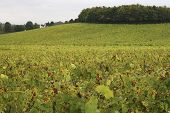 pic of dork  - View over grape vines in vineyard at Dorking. Surrey. England. Late Summer