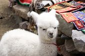 stock photo of alpaca  - Baby alpaca on a local souvenir market in Colca Canyon Peru - JPG