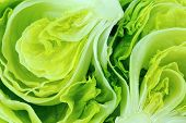 picture of iceberg  - Fresh Green Iceberg lettuce  - JPG