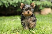 foto of yorkshire terrier  - Adorable Yorkshire terrier running on the grass - JPG
