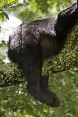stock photo of rear-end  - A Black Bear - JPG