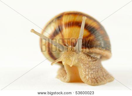 Garden Snail In Motion On White Background