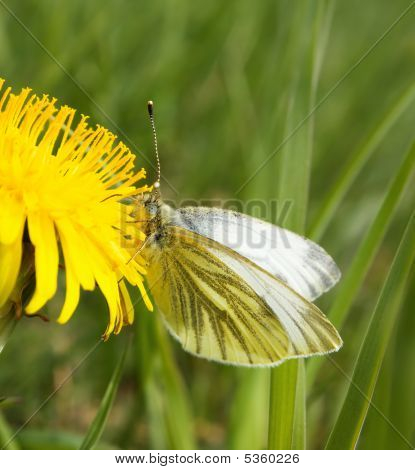 Small White Butterfly On Dandelion