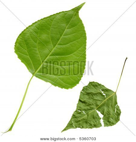Fresh And Grunge Leafs, With Clipping Path