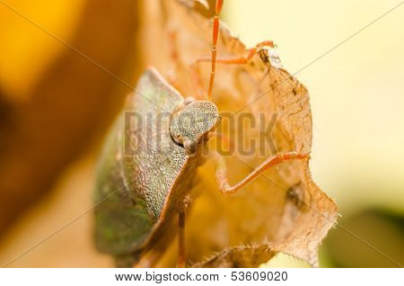 Brown Stink Bug Or Shield Bug