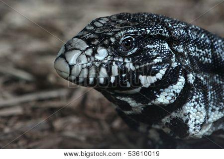 Argentine Black and White Tegu
