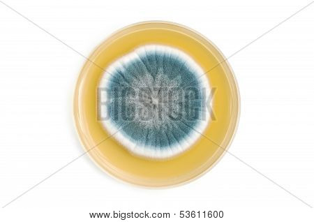 Fungi On Agar Plate Over White Background