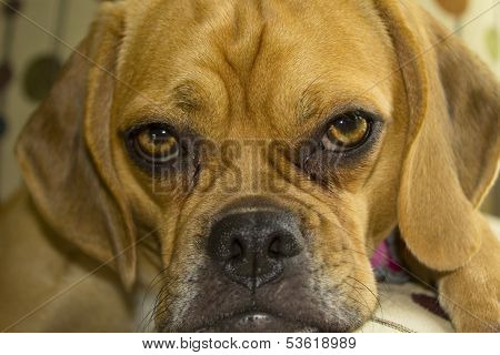 Puggle Portrait