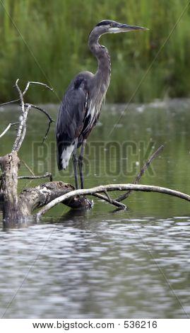 Great Blue Heron On Log