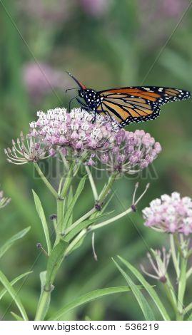 Beautiful Monarch Butterfly Feeding On Pink Flowers