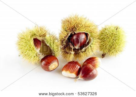 brown,ripe nuts of sweet chestnut tree