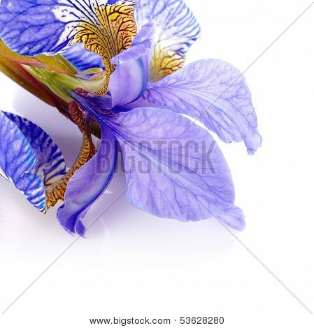 Petals Of A Flower Of An Iris.