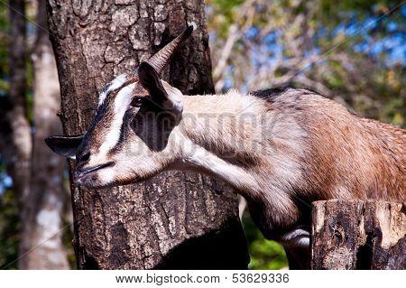 head of goat