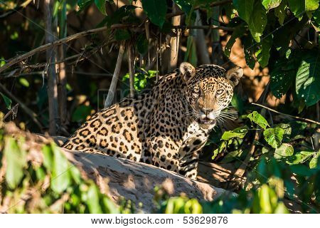 jaguar in the peruvian Amazonian jungle at Madre de Dios
