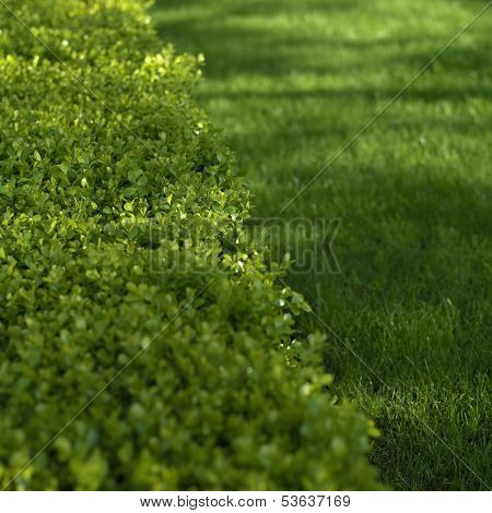 Green Hedge Closeup