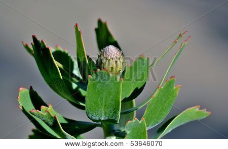 Pincushion Protea Bud