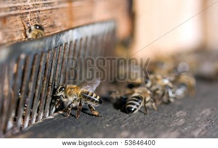 Honeybee Flying