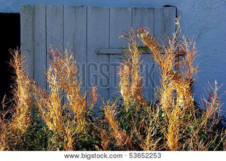 Fireweed and blue door