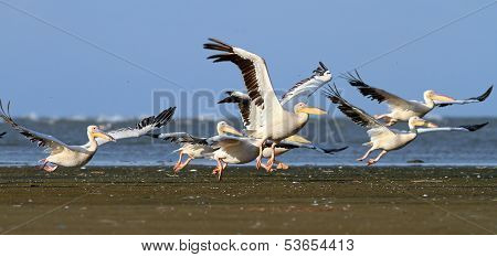 Pelicans Taking Off From Sea Shore