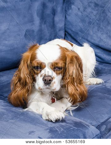 Spaniel Dog Lying On Couch