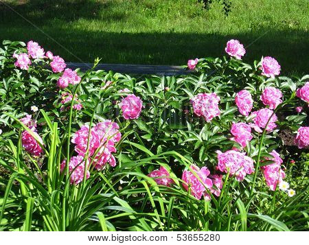beautiful pink flowers of peony in the garden