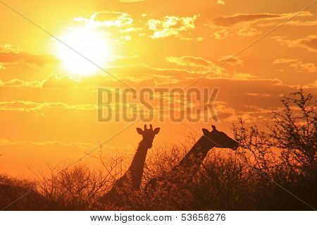 Sunset Background and Giraffe Silhouette from Africa.