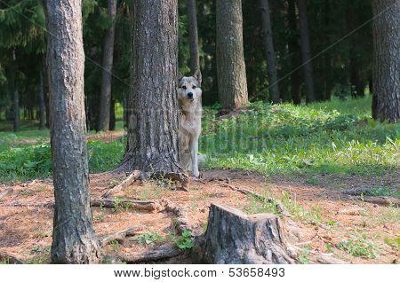 Feral Dog Hiding Behind A Tree