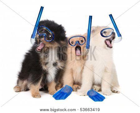 Silly Pomeranian Puppies Wearing Snorkeling Gear