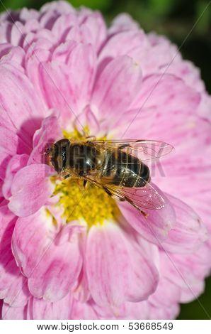 Hoverfly Macro