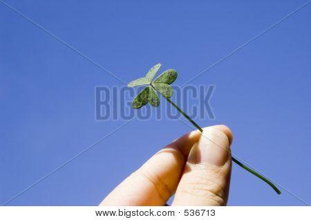 Finger Holding A Clover
