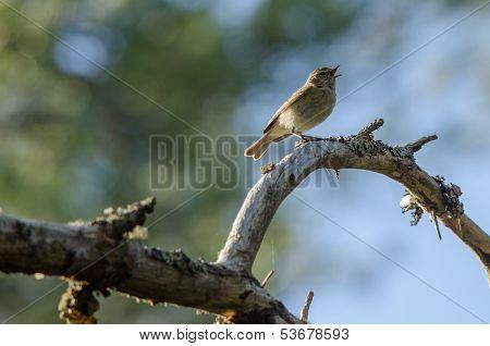 Chiffchaff (phylloscopus Collybita) Bird
