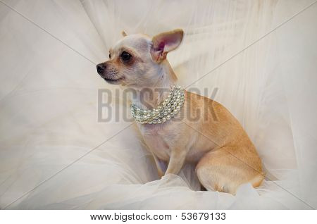 Chihuahua dog with chaplet of pearls