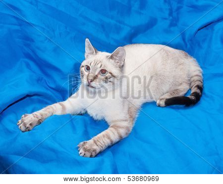 White Cat With Gray Spots, Preparing To Pounce