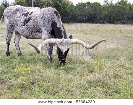 Side View Of Long Horn Cattle Grazing