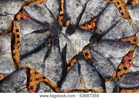 Trichogaster Pectoralis