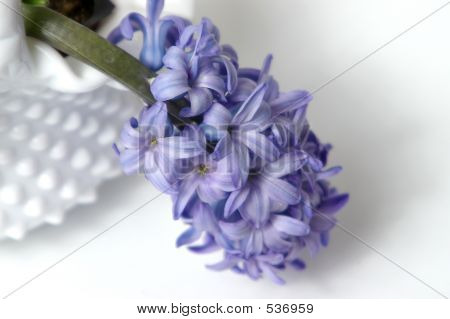 Hyacinth Blossoms