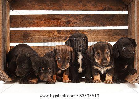 Dachshund puppies sitting in a wooden box