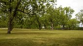 foto of pecan tree  - pecan orchard - JPG