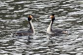 stock photo of great crested grebe  - Great Crested Grebe (Podiceps cristatus) R�stasj�n Solna Sweden.