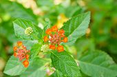 pic of lantana  - Lantana or Wild sage against nature background Lantana camara L - JPG