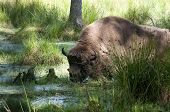 picture of aurochs  - Aurochs in the summer forest - JPG