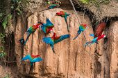 macaws in clay lick in the peruvian Amazonian jungle at Madre de Dios