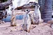 pic of mear  - A lot of meerkat on land in the zoo - JPG