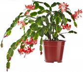 stock photo of schlumbergera  - Blooming Christmas Cactus  - JPG