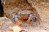 picture of crab  - large crab on the beach between the rocks