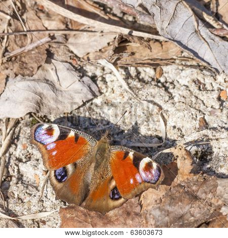Butterfly with big red or orange wings