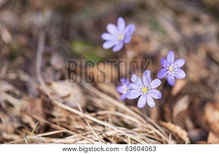 Purplish Hepatica Closeup