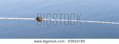 Panorama Of A Frog On Branch In Water