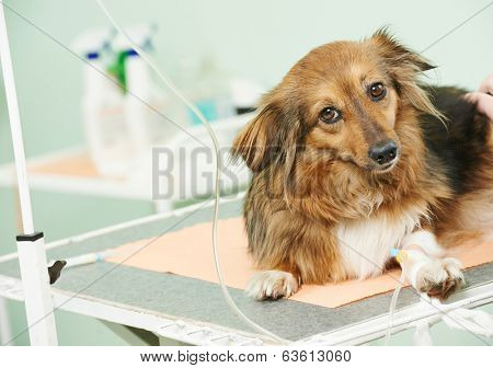 vaccine to the dog in veterinary clinic