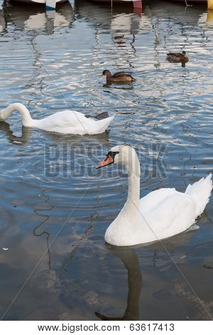 Beautiful swan and ducks on the lake in Mikolajki